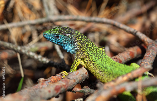 green lizard (lacerta viridis) on a rock mountain