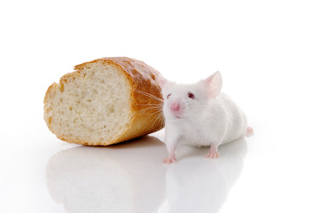 white mouse and bread on white background