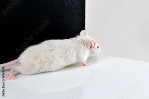 white mouse on black and white background