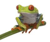 Red-eyed Tree Frog, Agalychnis callidryas poster