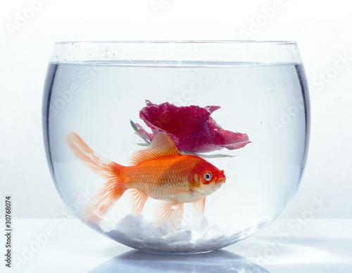 goldfisch im glas von renesebastian lizenzfreies foto 30768074 auf. Black Bedroom Furniture Sets. Home Design Ideas