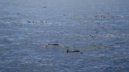 Groupe de dauphins en mer des caraibes.