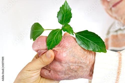Senior's hand holding green plant