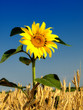 Sunflower and wheat field