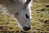 Feeding White Alpaca