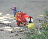 scarlet macaw eating star fruit on grass, pico bonito, honduras poster