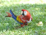 scarlet macaw on grass, pico bonito, honduras poster