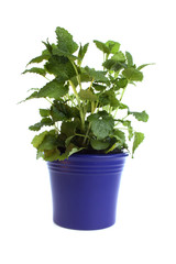 Melissa in a pot