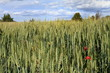 Cereal plantation,Gudar mountains Teruel province Aragon Spain
