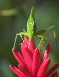 green katydid grasshopper on purple flower, pico bonito, hondura poster