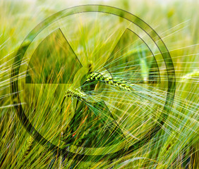 Ears of corn with radioactive-symbol