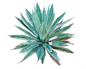 Blue agave on a white background