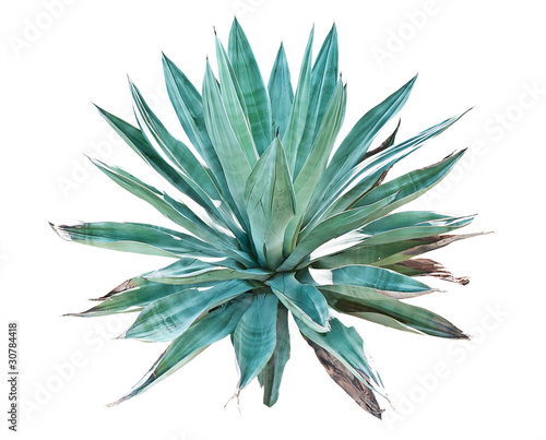 Foto op Canvas Cactus Blue agave on a white background