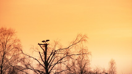 Sunset silhouette of white storks in nest