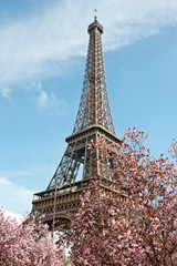 Paris in Spring. Blossoming cherry trees and Eiffel tower.