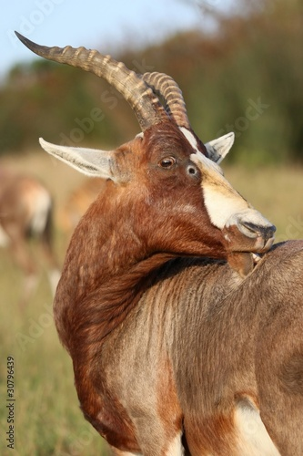 Blesbok Antelope with Itch