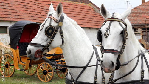 Two white horses and carriages