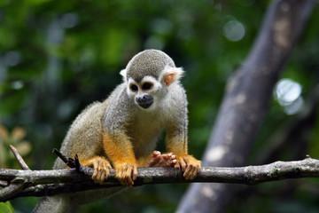 Saimiri sciureus - Squirrel Monkey perched on branch