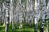Fototapety Birchwood in sunny day