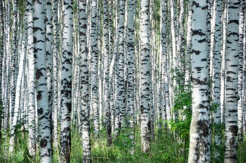 Birchwood in sunny day