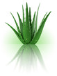 Plant d'Aloe Vera sur fond blanc 3