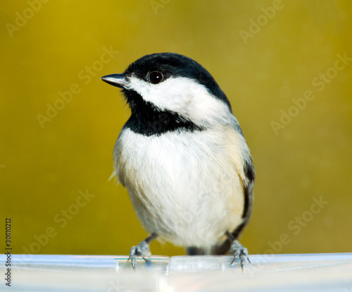 Black capped chickadee on feeding tray