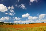 Mohnblüten auf einem Getreidefeld