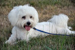 White Maltese dog lying on the grass with dog lead