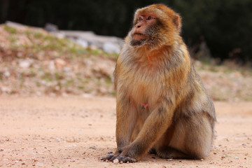 Young macaque portrait in the wild, Morocco