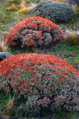Mata Guanacos (Anartrophyllum rigidum), Patagonia