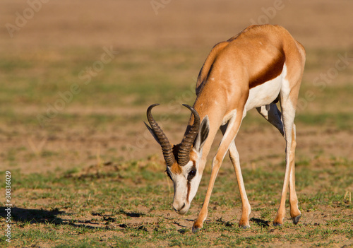 Papiers peints Antilope springbok
