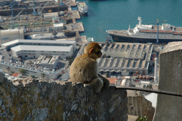 Wild Baby Barbary Ape on the rock of Gibraltar