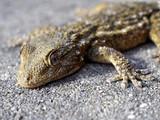 gécko gekko lézard reptile poster