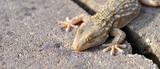 gécko gekko reptile lézard poster