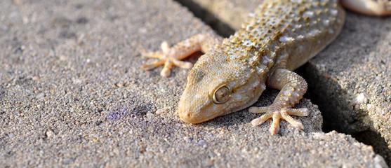 gécko gekko reptile lézard