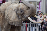 éléphant,spectacle,défenses,animal,pachyderme poster