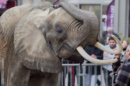 éléphant,spectacle,défenses,animal,pachyderme