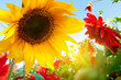 Spring flowers, sunflowers in the sunny garden