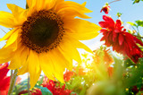 Spring flowers, sunflowers in the sunny garden - Fine Art prints