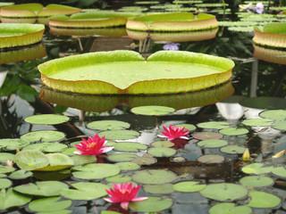 Водная оранжерея  (фокус на листе кувшинки)