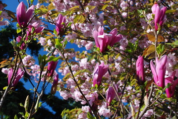 Magnolia flower, cherry tree in the background