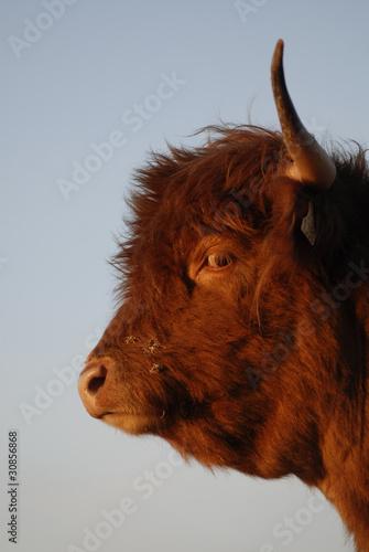 veau Highland - 30856868