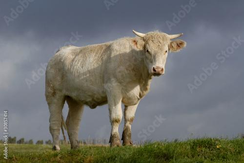 Papiers peints Vache charolaise