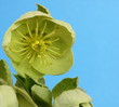 hellebore in flower on a blue background