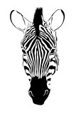 portrait of zebra isolate