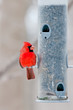 Male cardinal sits on bird feeder