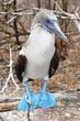 Piquero de patas azules III
