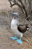 Piquero de patas azules II