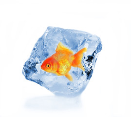 Golden fish in ice cube