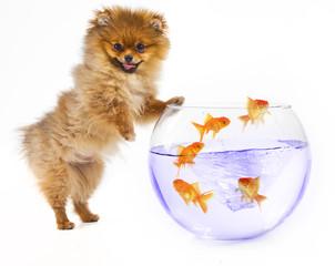 Pomeranian puppy and goldfish